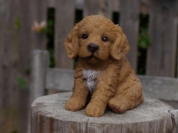 Farmwood Puppy Cockapoo